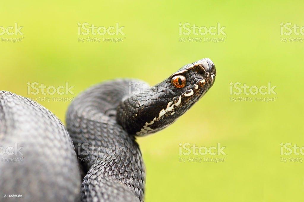 detailed portrait of black female european common viper stock photo