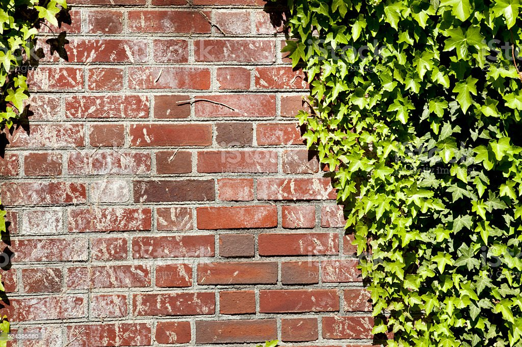 Detailed shot of brick Wall with ivy in afternoon sunlight stock photo