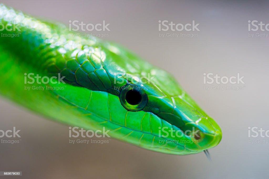 detaillierte Seite Ansicht grünen Bäumen Rattenschlange (Gonyosoma Oxycephalum) – Foto