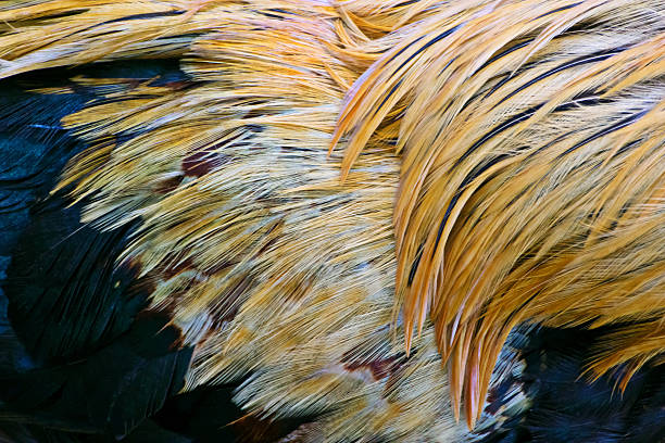 Detailed texture of yellow, white and blue fighting cock feather stock photo