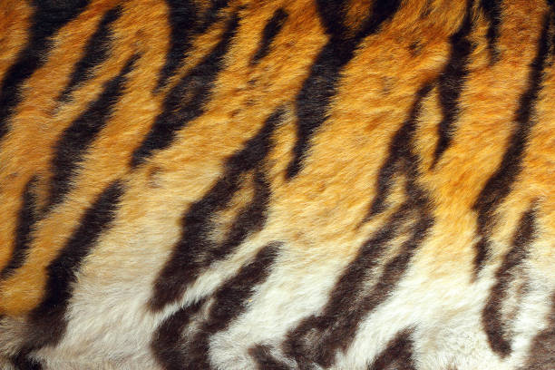 Top 60 Real Tiger Fur Texture Striped Pattern Background ... - photo#21