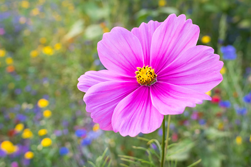 Detailed view of a colorful vibrant pink Cosmos flower in a garden