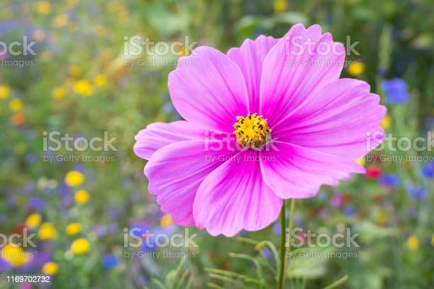 Detailed view of a colorful vibrant pink cosmos flower in a garden picture id1169702732?b=1&k=6&m=1169702732&s=612x612&h=jddtcspdrkuabzw1g0jkmjeffqrj5eq ipsd0vlylos=