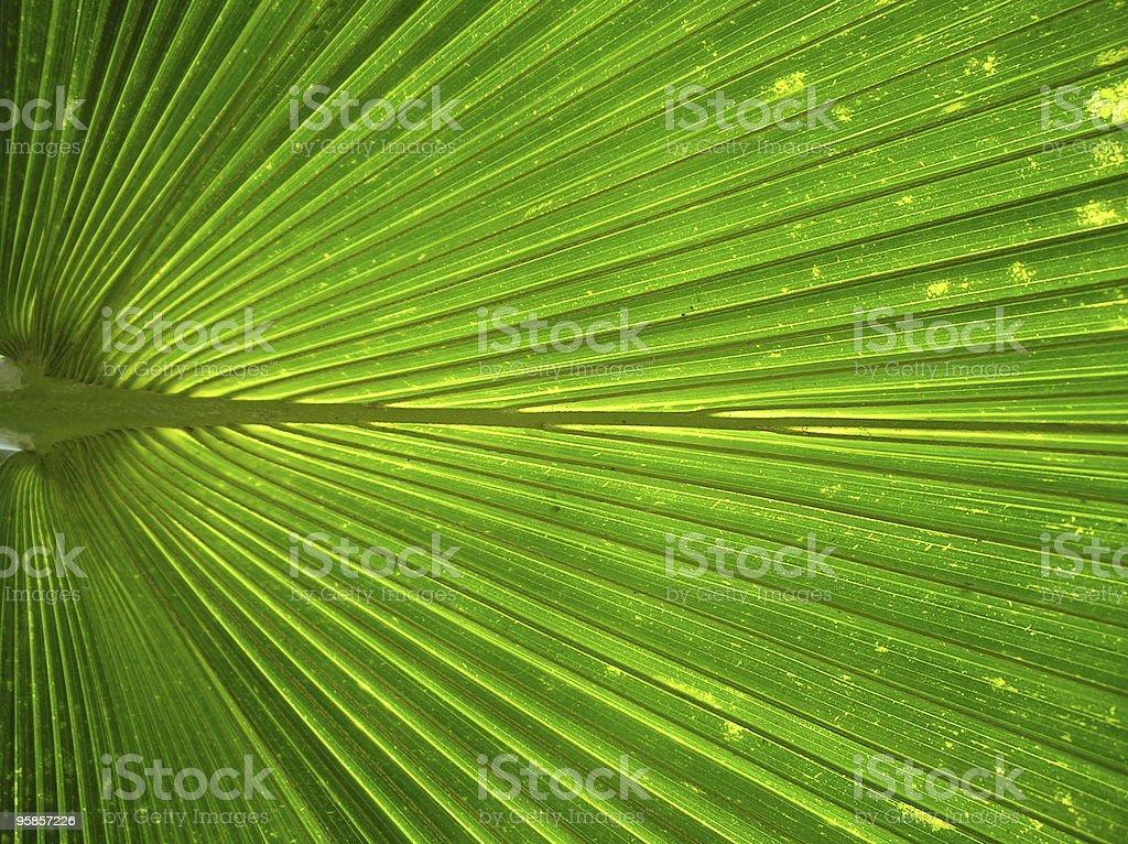 Details eines great green palm leaf – Foto