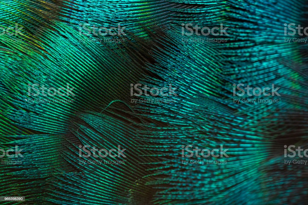 Details of beautiful peacock feathers. Green peafowl royalty-free stock photo