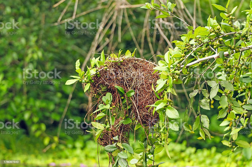 Details of bird nest in a rain forest tree stock photo