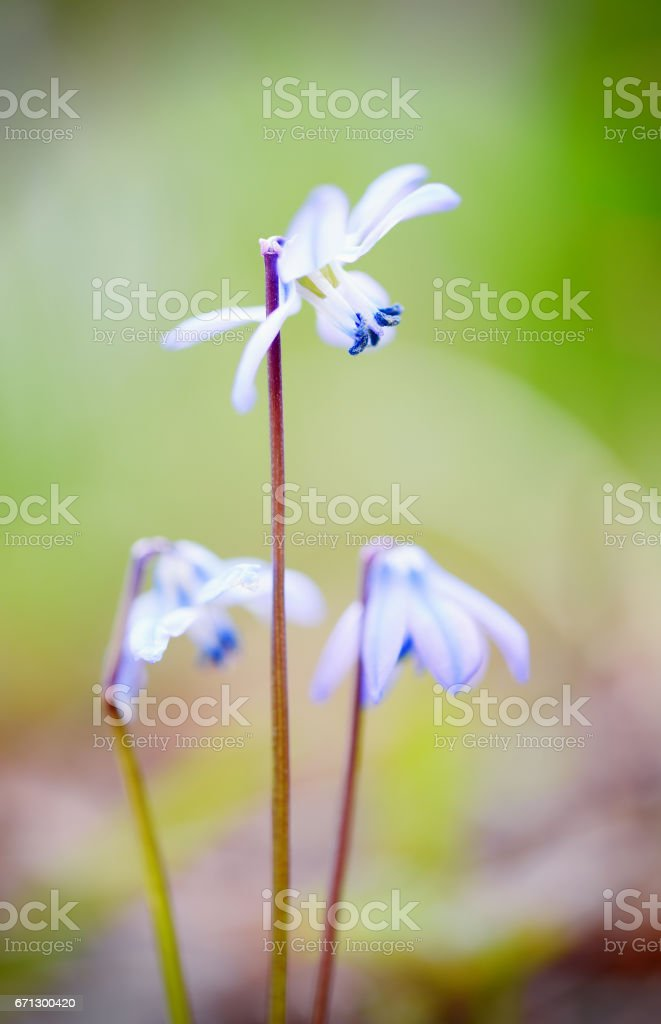details of scilla blossom in springtime stock photo
