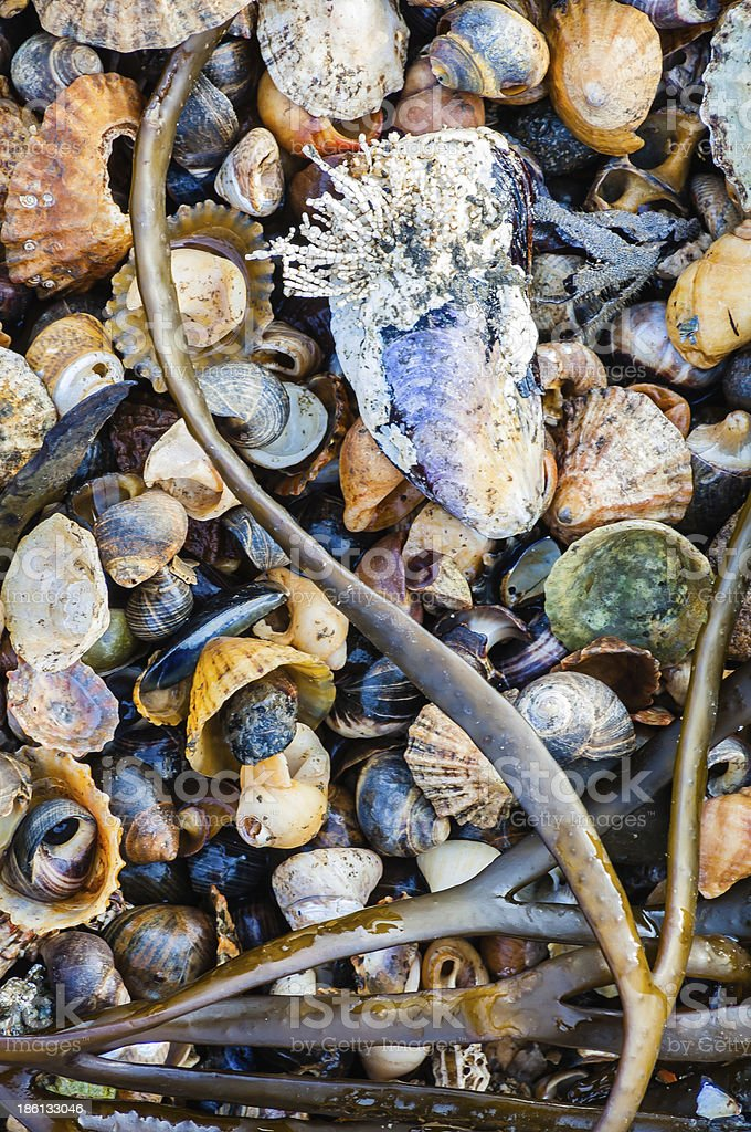 Details of shells cockles mussels and seaweed on beach  Northumb royalty-free stock photo