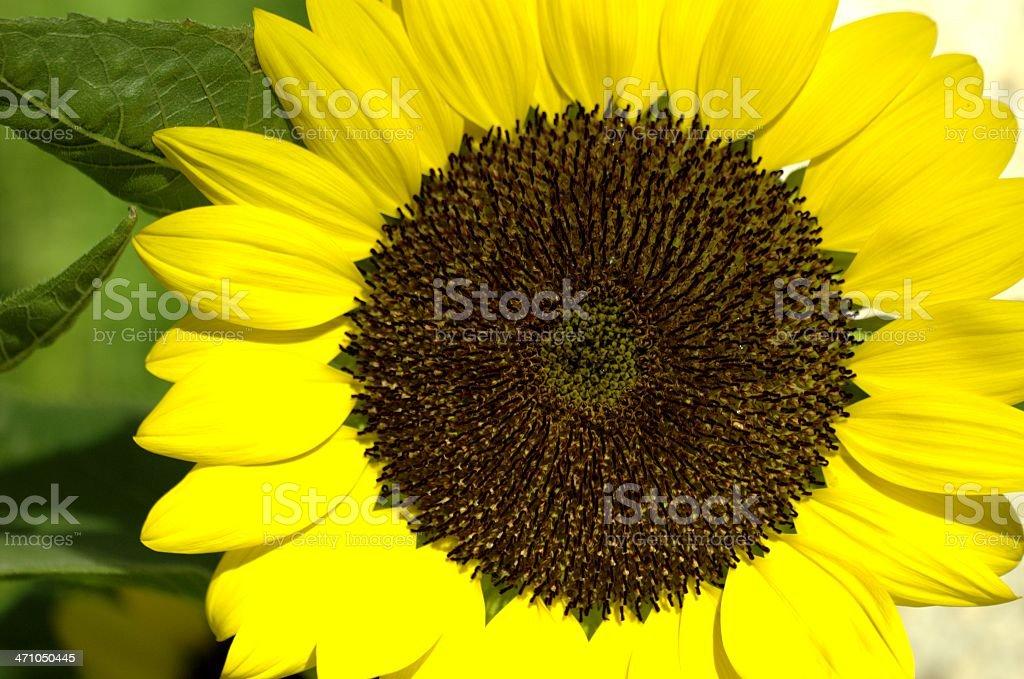 Details of Sunflower (Sentosa, Singapore) royalty-free stock photo