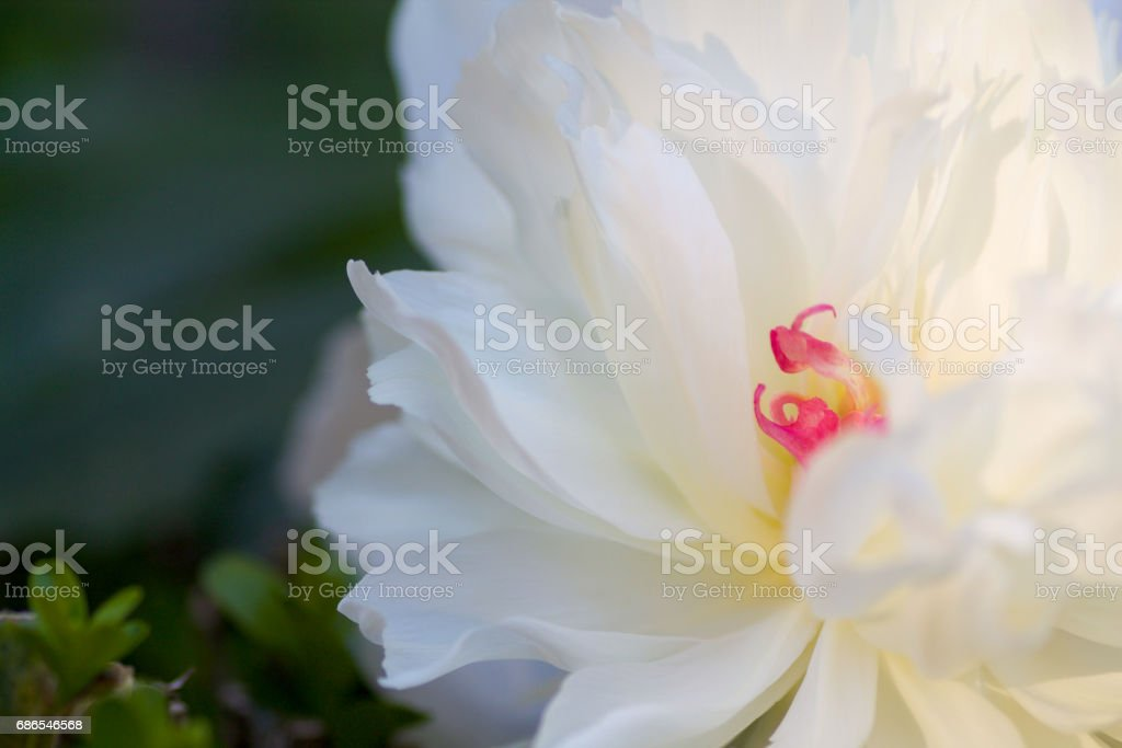details of white peony on green backround foto stock royalty-free