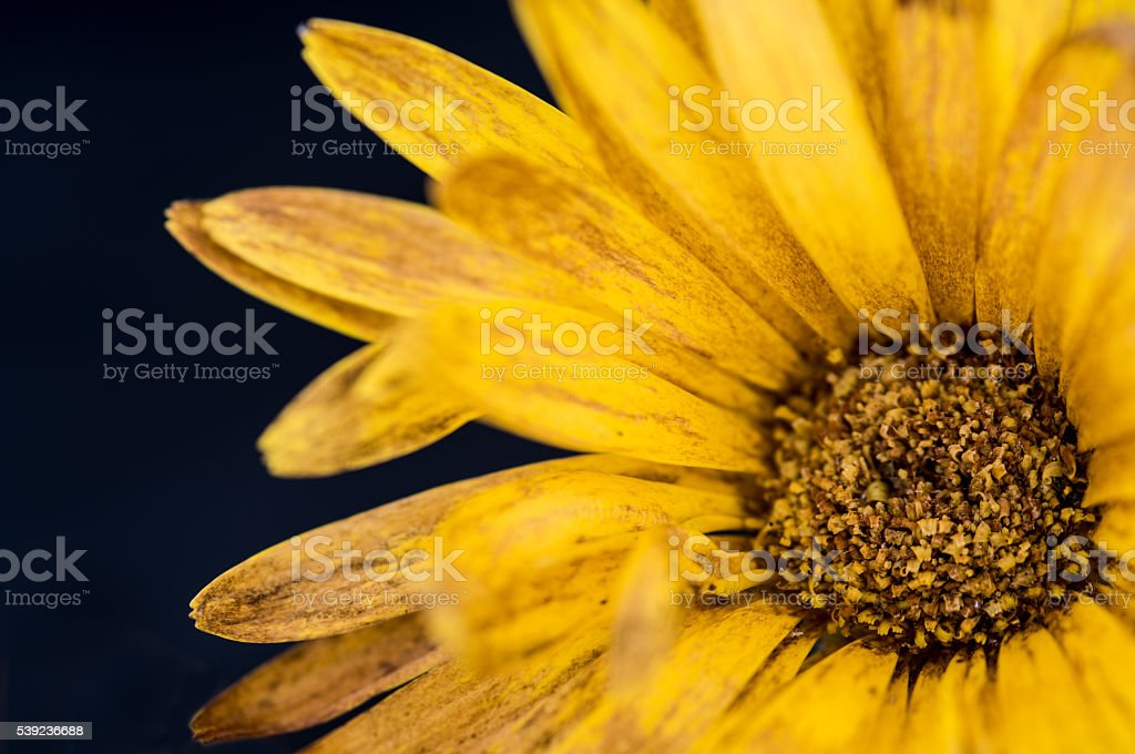 Details of Yellow Dahlia flower royalty-free stock photo