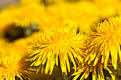 details of yellow fresh dandelions on the field in spring, dandelion flowers fresh and recently bloomed, dandelion in the wild close up