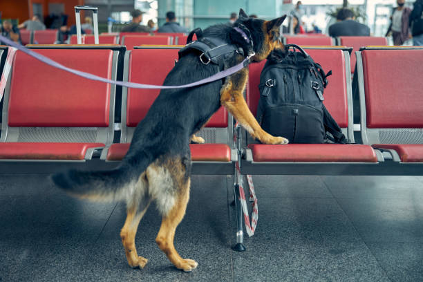 Detection dog checking suspicious backpack at airport stock photo