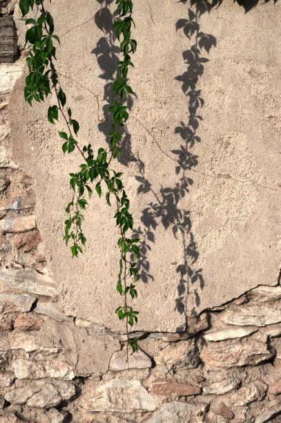 pared deteriorada con planta de vid - foto de stock