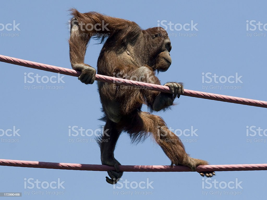 Determination -- Young Orangutan on High Wire royalty-free stock photo