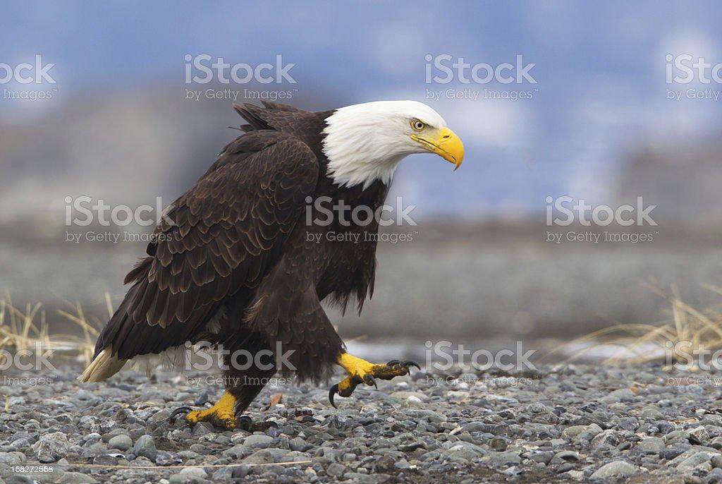 Determined Bald eagle stock photo