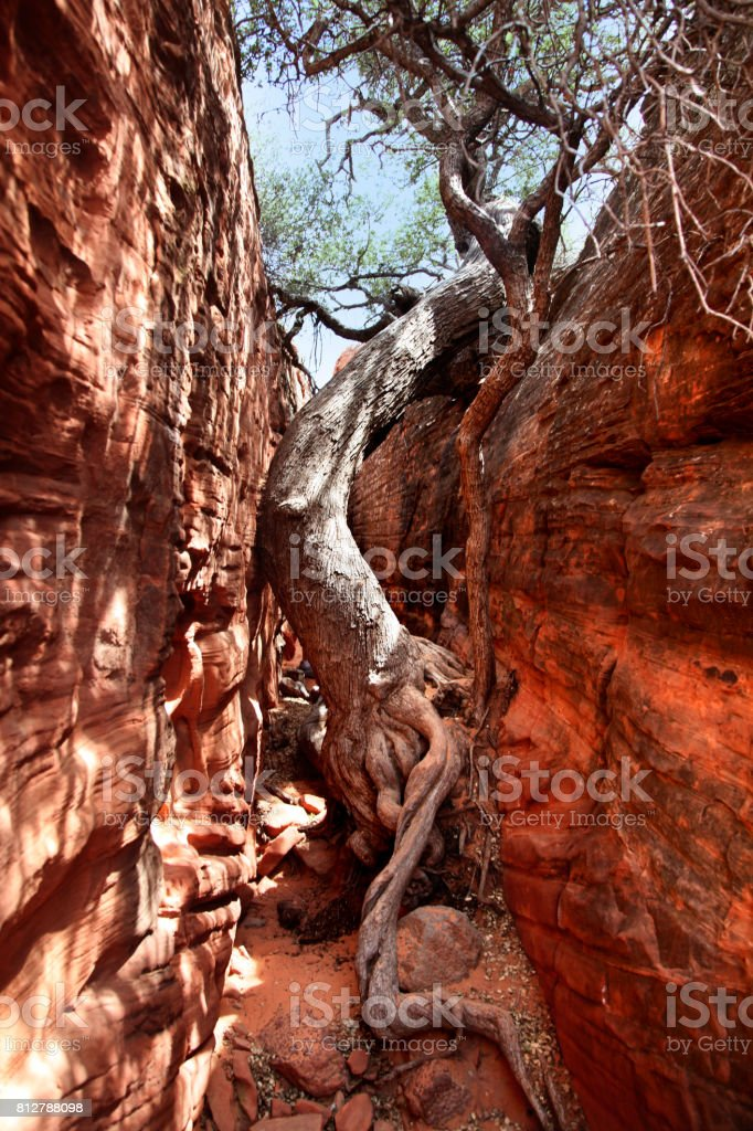 Determined tree growing in slot canyon in Southern Utah stock photo