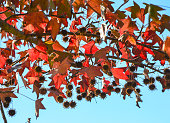 Dettail of the autumn leaves of the trees in a blue sky
