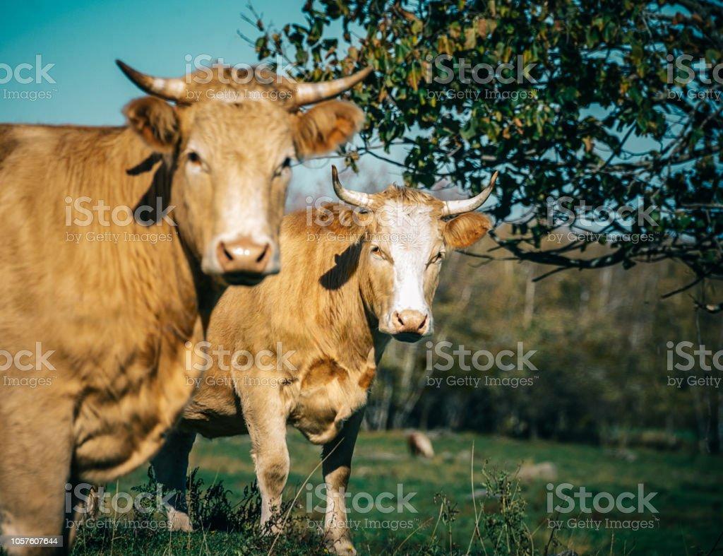 Deux bovins - Photo
