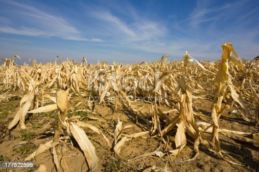 istock devastated corn field as a result of long time drought. 177522599