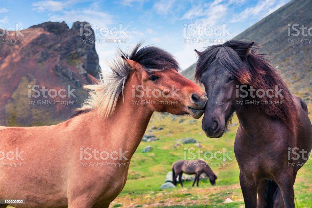 Entwickelt von Ponys - Islandpferde. – Foto