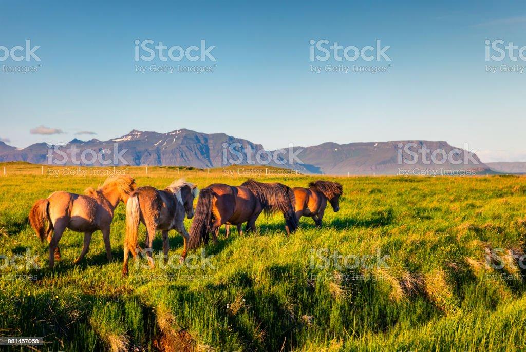 Entwickelt von Ponys - Islandpferde – Foto