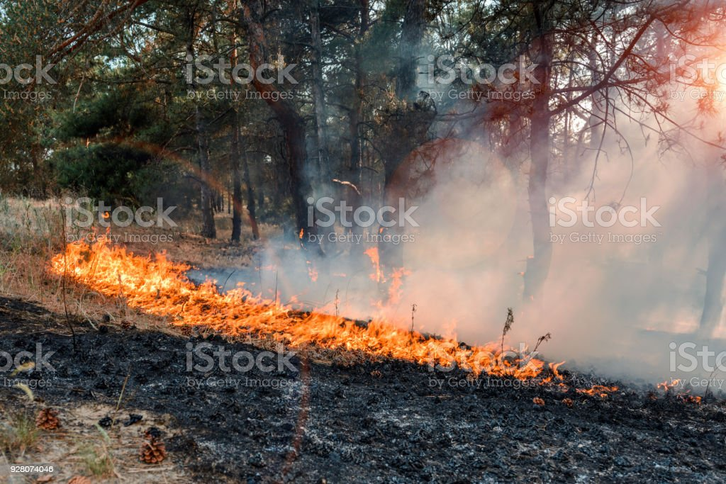 Development of forest fire. Flame is starting damage of trunk stock photo