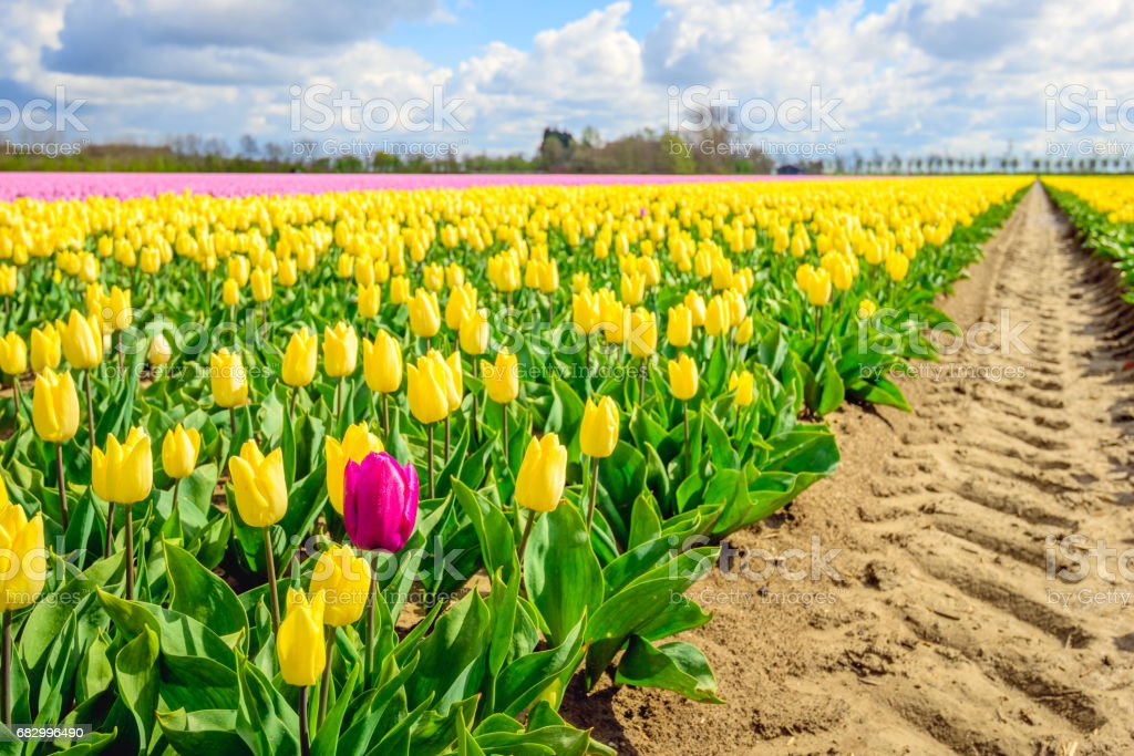 Deviant red tulip on the edge of a flowerbed with yellow tulips stock photo