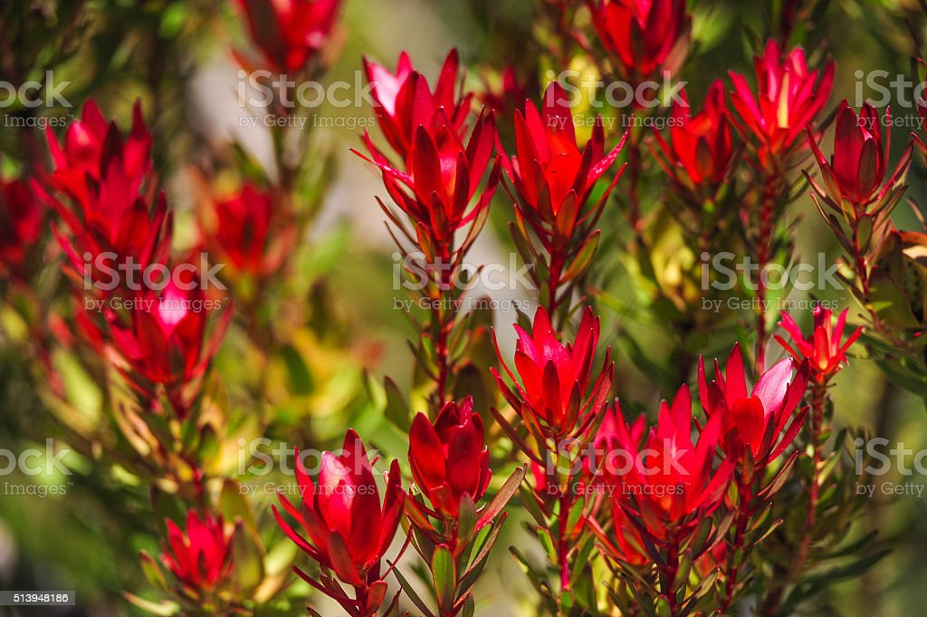 Teufel Rot Silberbäume Salignum-Australian einheimischen Blumen – Foto