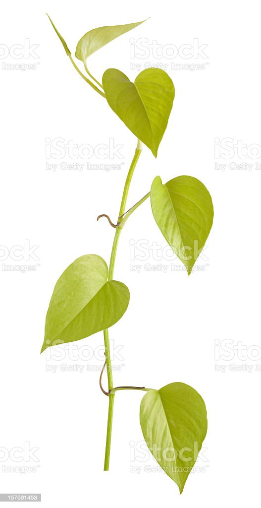 Devil's Ivy creeper plant isolated on white. royalty-free stock photo