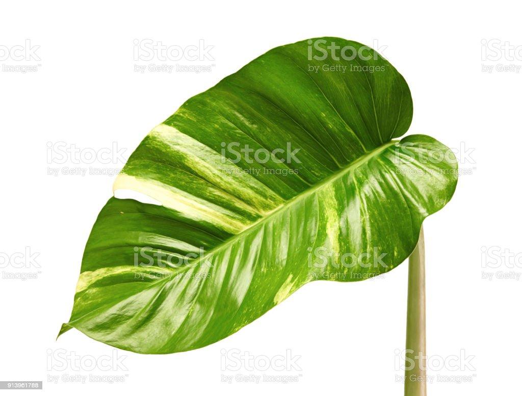 Devils Ivy Golden Pothos Epipremnum Aureum Heart Shaped Leaves Vine