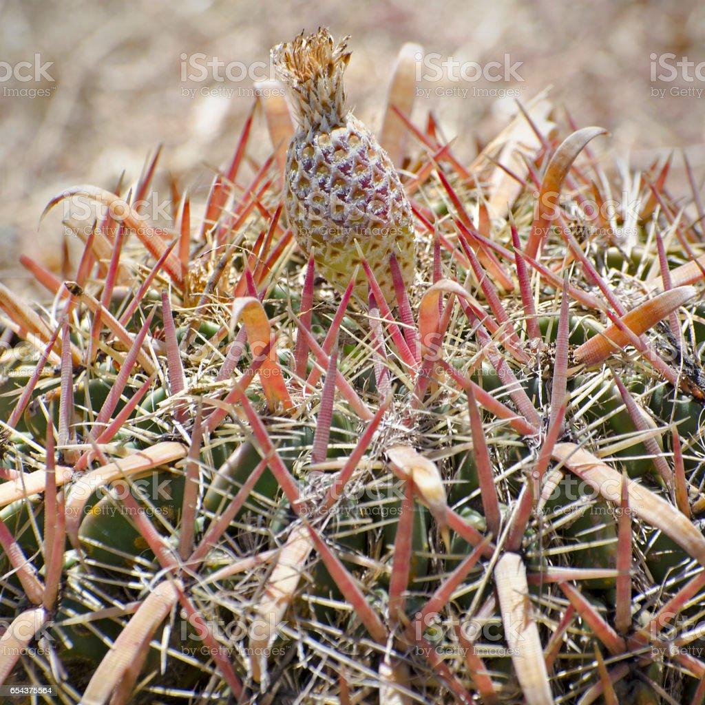 devil's tongue cactus, Ferocactus latispinus stock photo