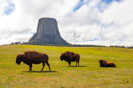 Devils Tower looms over a herd of American Bison on the western grasslands.