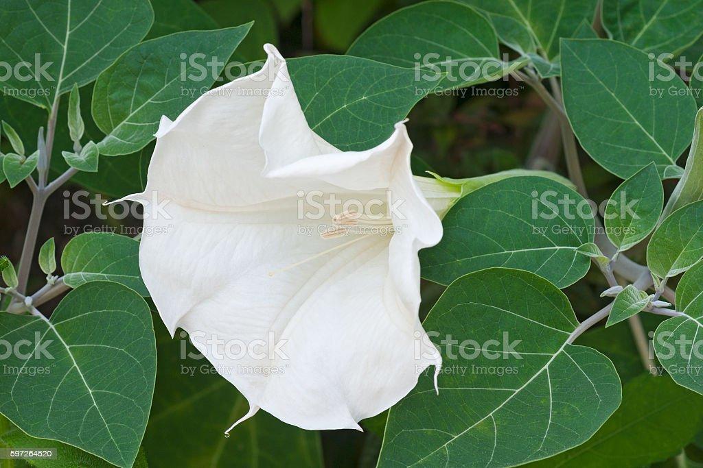Devil's trumpet flower stock photo