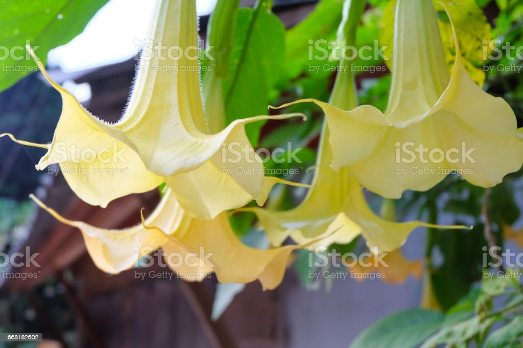 Devil's Trumpet flowers. stock photo