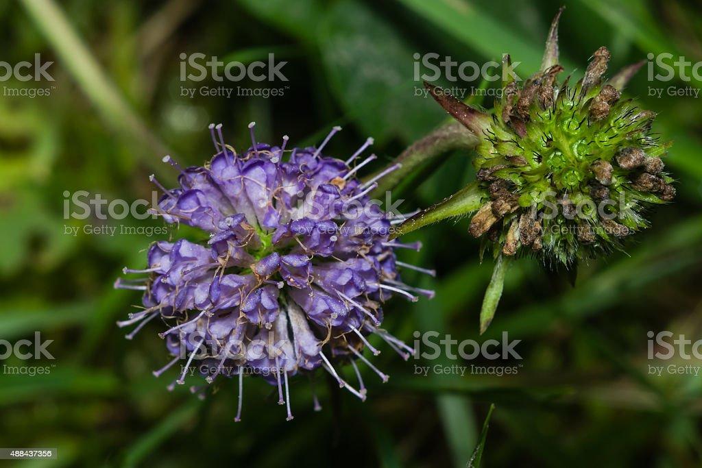 Devils-bit Scabious - Succisa pratensis, flowers macro, selective focus stock photo