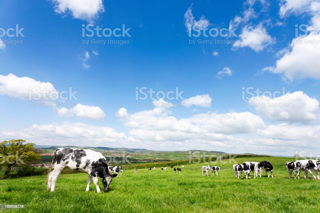 Devon field of cows stock photo
