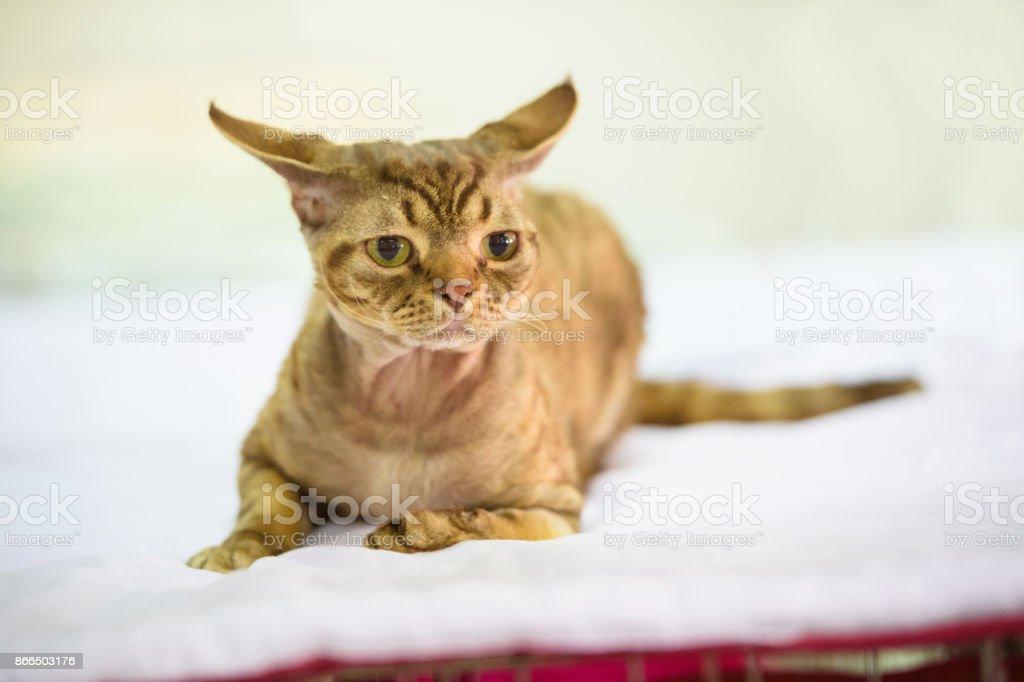 Devon Rex And His Ears Stockowe Zdjęcia I Więcej Obrazów Bez Ludzi