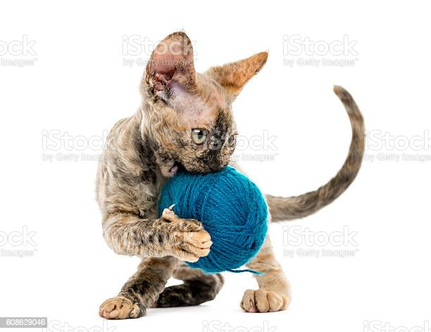 Devon rex carring a wool ball isolated on white picture id608629046?b=1&k=6&m=608629046&s=612x612&h=ybq79pl6kuep2qjacw8vfpyxxmnidcu5l5ia4bobi5w=