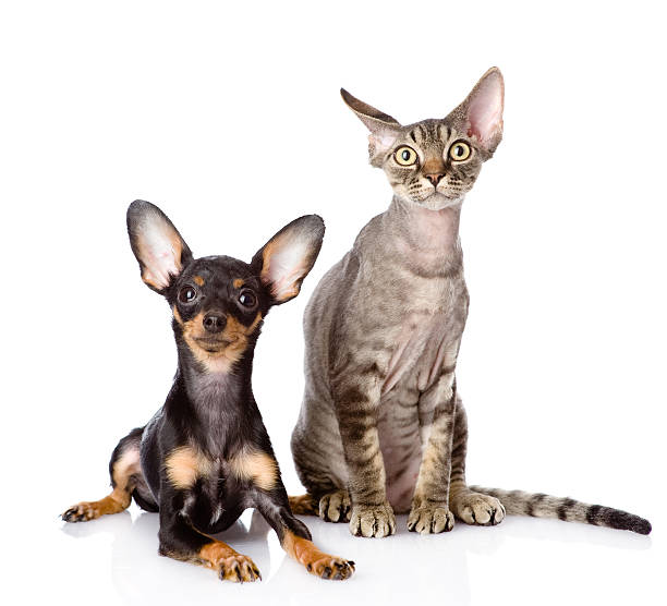 Devon rex cat and toyterrier puppy together picture id542289976?b=1&k=6&m=542289976&s=612x612&w=0&h=1vz 0i4quk8viy6grou8prfb1sqcwecyaismeghvbxw=