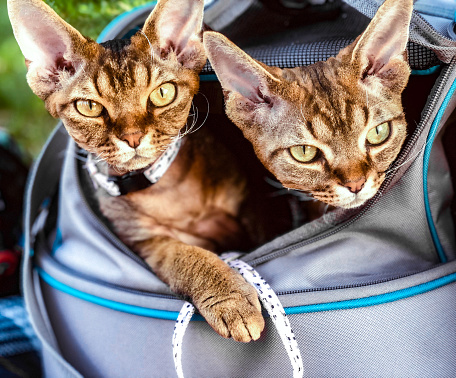 Devon Rex cat brothers looking out from Per carrier