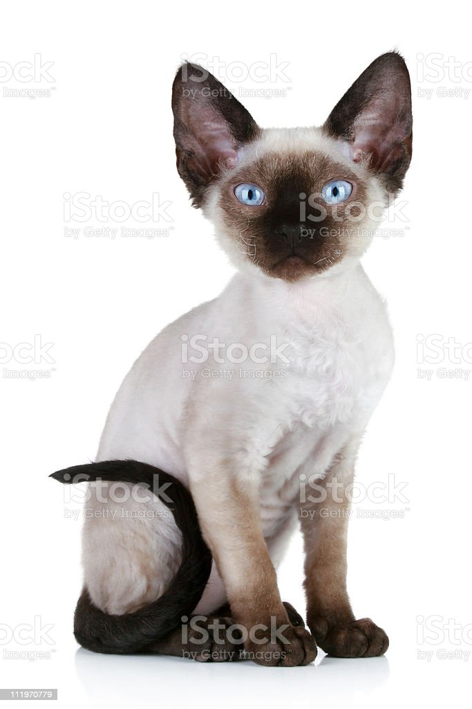 Devon rex cat close-up portrait stock photo