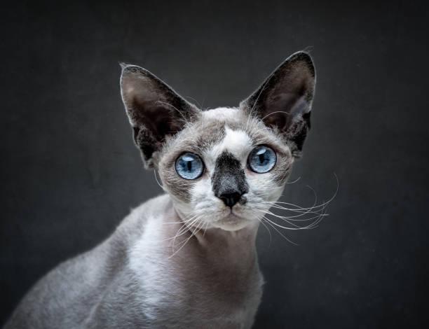 Devon Rex cat portrait stock photo