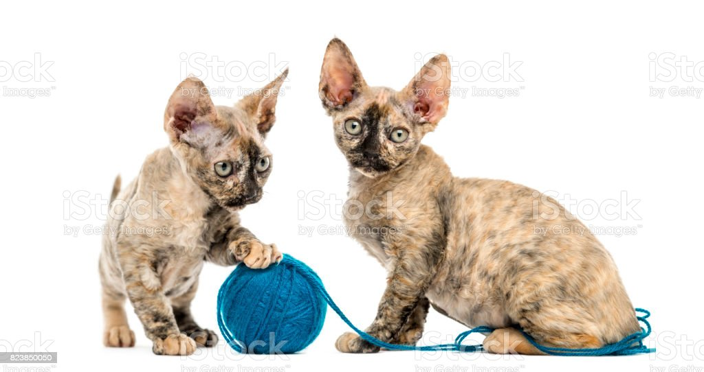 Devon rex cats playing with a wool ball isolated on white stock photo