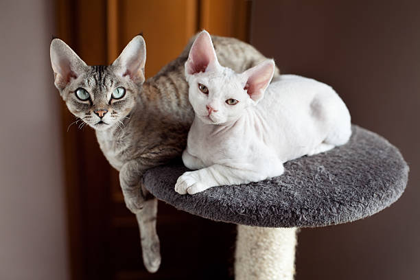 Devon rex cats sitting on scratching post picture id468450839?b=1&k=6&m=468450839&s=612x612&w=0&h=zp3i9elxzbrz39ibu0acxnpc2pekutmz4sep1zshjdi=
