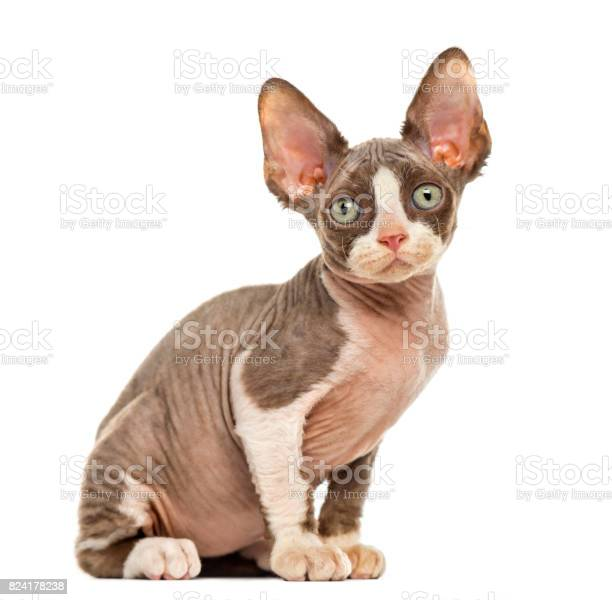 Devon rex kitten isolated on white picture id824178238?b=1&k=6&m=824178238&s=612x612&h=5r0dzfkge4760mryeb7va5m2vubbwmczcapyvynibz0=