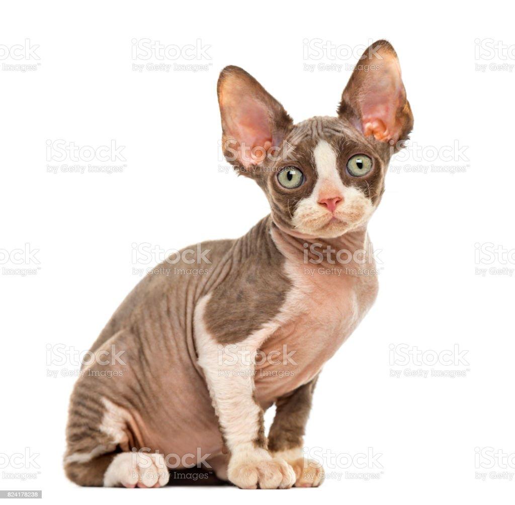 Devon Rex kitten isolated on white stock photo