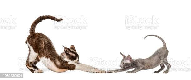 Devon rex peterbald kitten in front of white background picture id1069530904?b=1&k=6&m=1069530904&s=612x612&h=505c4j4wv8ddwlentqtzzko5mmyxidpduvafhmgoeyk=