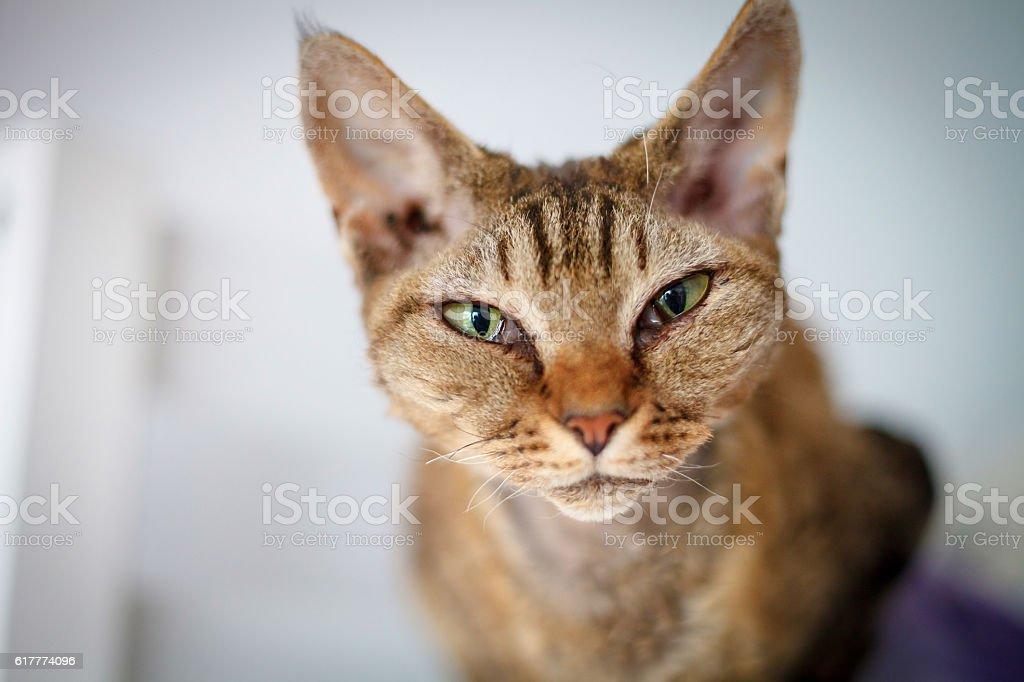 Devon Rex purebred domestic cat stock photo