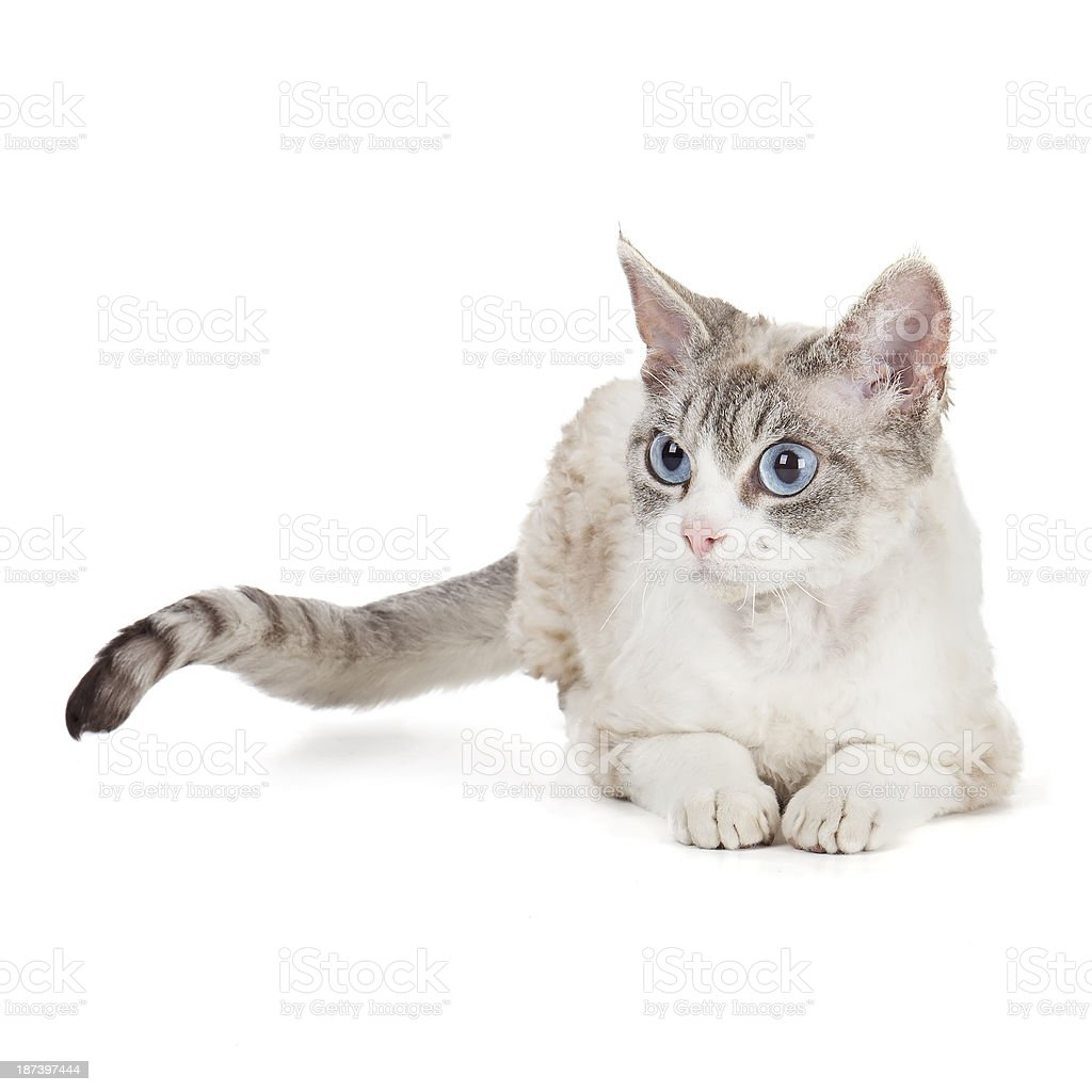 Devon rex with blue eyes stock photo